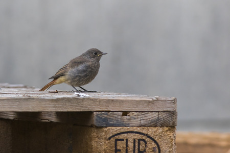 redtail: A black redtail is searching for fodder Stock Photo