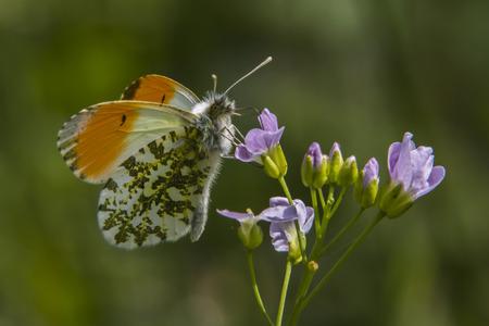 An orange tip-butterfly on a flower