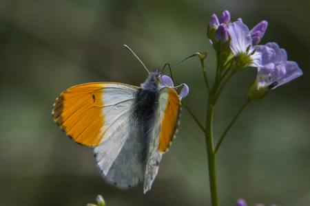 An orange tip-butterfly on a flower