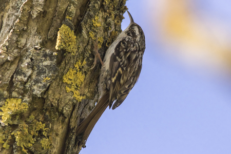 familiaris: A common treecreeper is searching for fodder on a tree Stock Photo