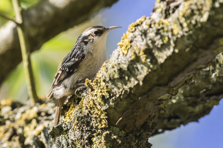 A common treecreeper is searching for fodder on a tree Stock Photo