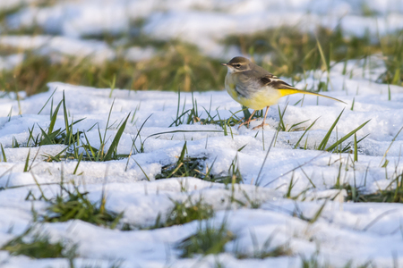 A grey wagtail in the snow