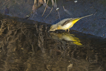 zweig: A grey wagtail is searching for fodder on the riverside Stock Photo