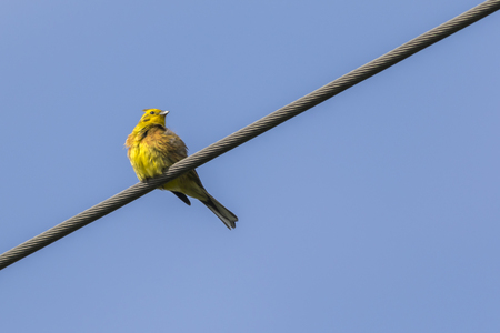 A yellowhammer is sitting on a branch