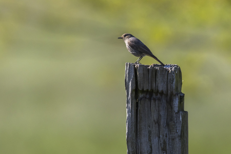 A black redtail is sitting on a post Stock Photo