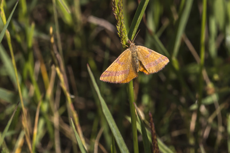 A purple-barred yellow is sitting on a grass-stock Stock Photo