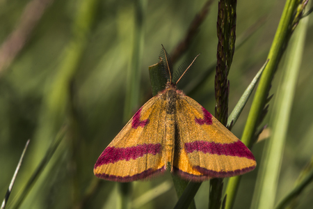 A purple-barred yellow is sitting on a grass-stock Stock Photo - 81272966