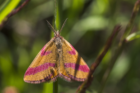 A purple-barred yellow is sitting on a grass-stock Stock Photo - 81272973