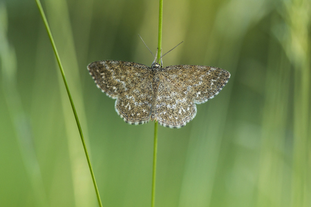 A lewes moth is sitting on a grass-stock Stock Photo - 81273048
