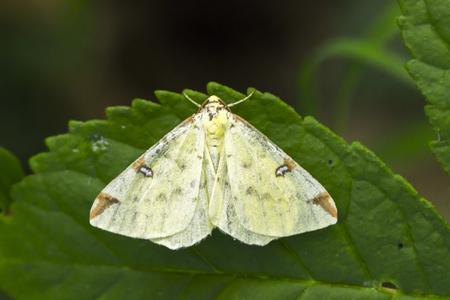 A brimstone moth is sitting on a leaf Stock Photo - 81273045