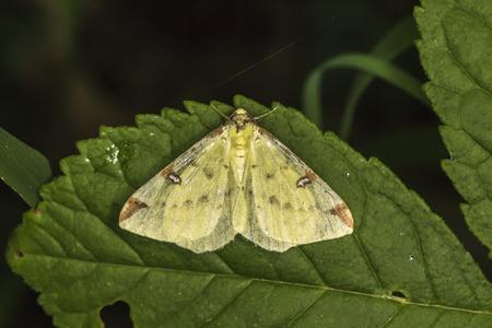 A brimstone moth is sitting on a leaf Stock Photo - 81273046