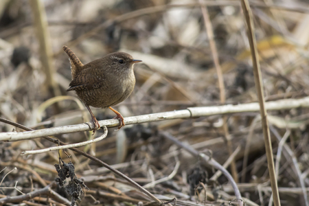 A wren in the shelf on the riverside Stock Photo - 81702078