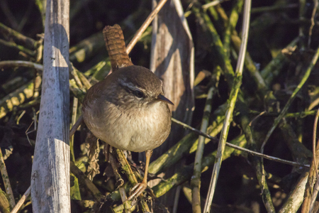 A wren in the shelf on the riverside Stock Photo - 81428898