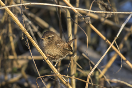 A wren in the shelf on the riverside Stock Photo - 81431130