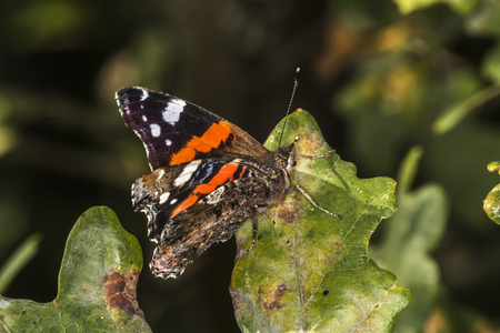 A red admiral is sitting on a leaf