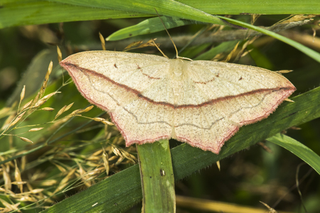 A blood vein moth is sitting on a leaf