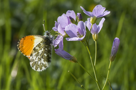An orange tip-butterfly suckles on a flower Stock Photo