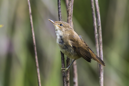 bough: An eurasian reed warbler is sitting in the reed grass Stock Photo