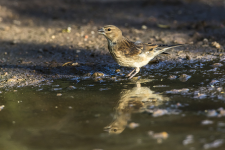 A young common linnet is searching for fodder
