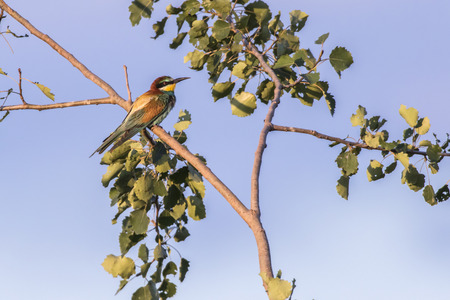 An eurasian bee-eater on the edge of a sandpit Stock Photo