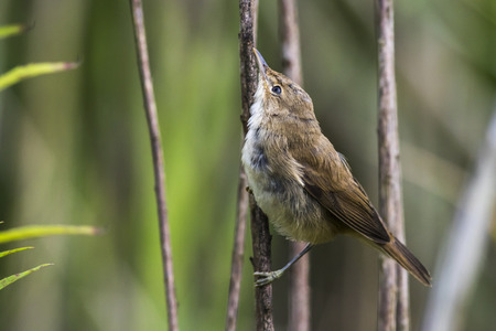 An eurasian reed warbler is sitting in the reed grass Stock Photo
