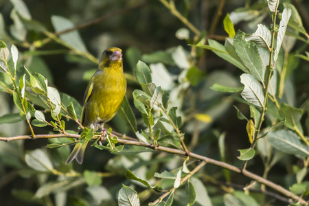 A common greenfinch is sitting on a branch Stock Photo