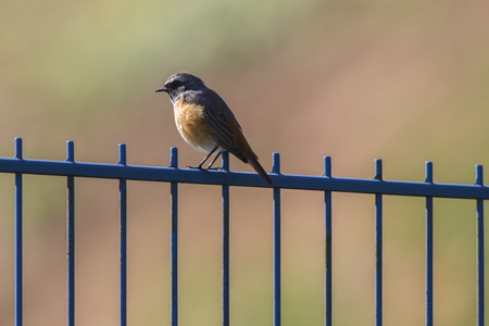 A common redstart is sitting on a fence