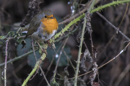bough: A robin redbreast is searching for fodder