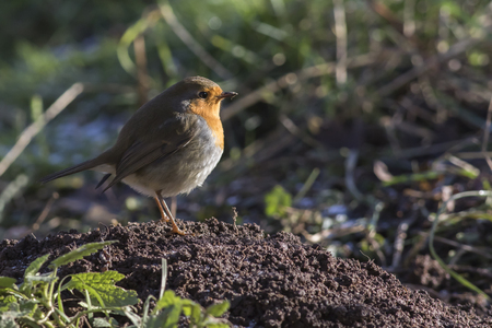 erithacus rubecula: A robin redbreast is searching for fodder