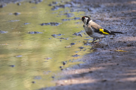 A goldfinch is searching for fodder