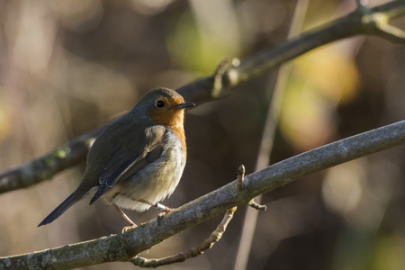 A robin redbreast is searching for fodder