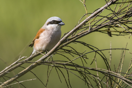 A red-backed shrike is sitting on his waiting point