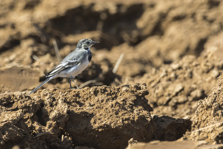 bough: A white wagtail on a field is searching for fodder