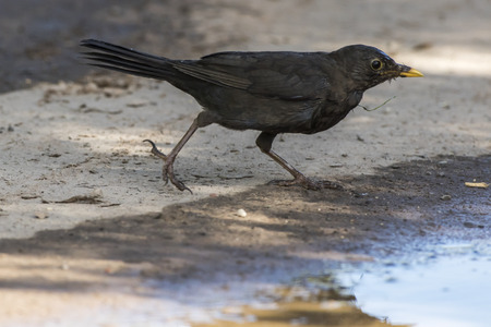 bough: A blackbird takes a bath in a puddle