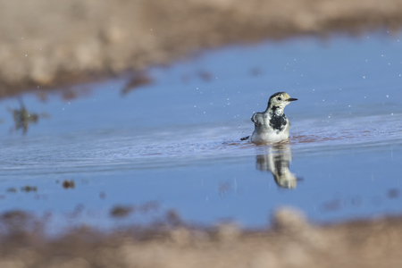 A white wagtail on a field is searching for fodder
