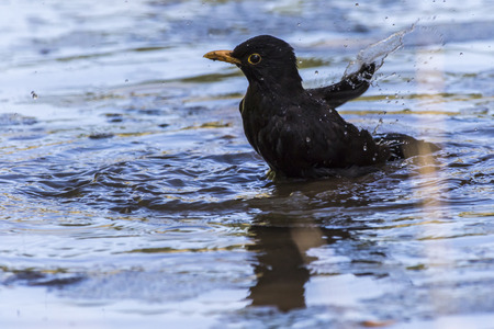 A blackbird takes a bath in a puddle