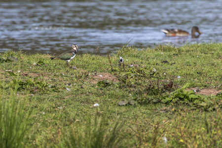 A Lapwing is searching for fodder Stock Photo