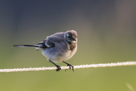 motacilla: A white wagtail on a field is searching for fodder