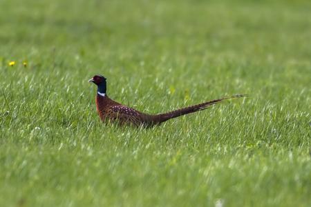 A common pleasant on a meadow near Hütschenhausengermany Stock Photo