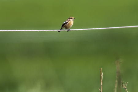 A whinchat is sitting on his vantage-point Stock Photo