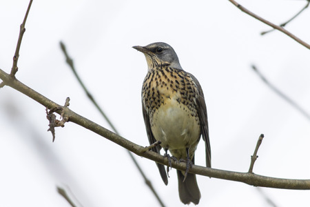 A fieldfare is sitting on a branch Stock Photo