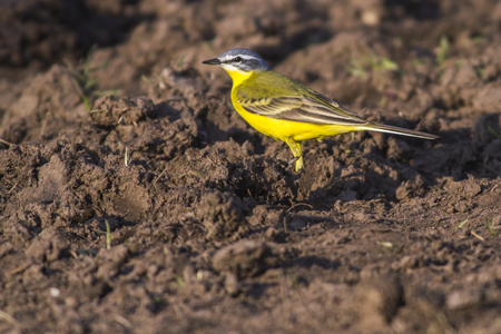 A western yellow wagtail on a field is searching for fodder