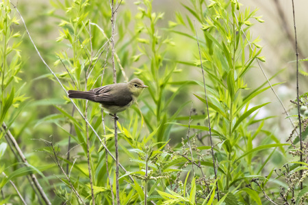 a melodious warbler is sittiing on a branch