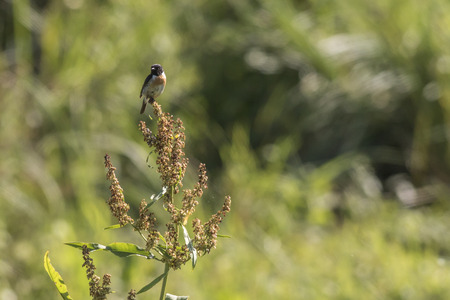 A stonechat is sitting on his vantage-point