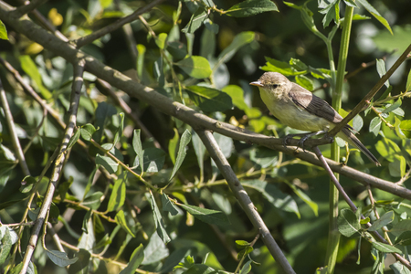 A willow warbler is sitting on a branch
