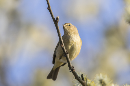 A common chiffchaff is sitting on a branch Stock Photo