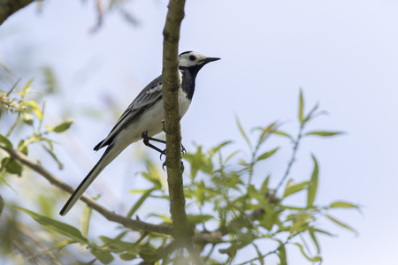 A white wagtail on a branch Stock Photo