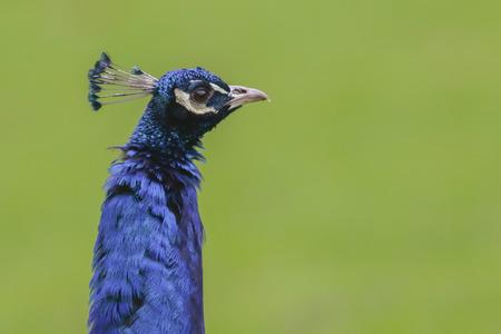 A blue peafowl in Wild park PotzbergGermany