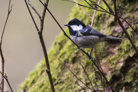 A coal tit is sitting on a branch