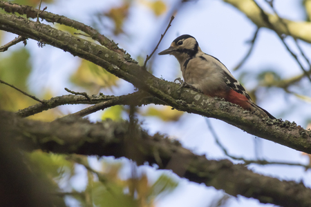 A great woodpecker on a branch Stock Photo